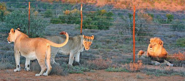 "The Great Escape and Capture of Sylvester ""Spook"" The Lion, www.south-africa-info.co.za"